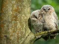 картинка, сова, дерево