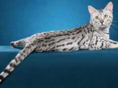 кот, египетский, серый