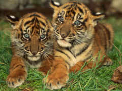 тигрята, милые, фотографий
