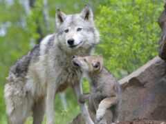 pup, волк, little