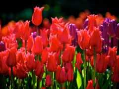 тюльпан, funart