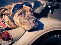 собака, взгляд, широкоформатные