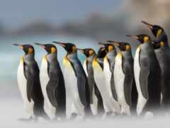 пингвины, iphone, пингвин