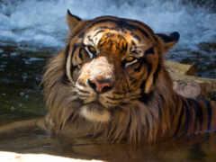тигр, sumatran, окно