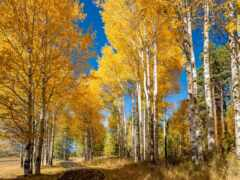oir, золотистый, осень