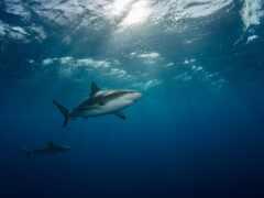 акула, underwater, animal