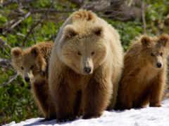 медведи, zhivotnye, ursa