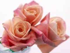 цветы, роза, розовый
