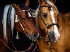 лошади, лошадь, pair