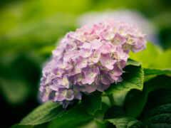 гортензия, цветы, лист