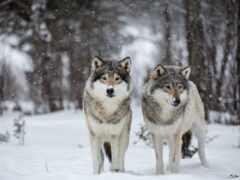 волк, лес, winter