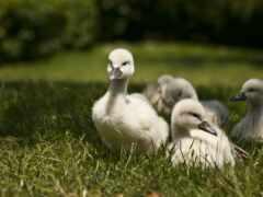 лебедь, трава, animal