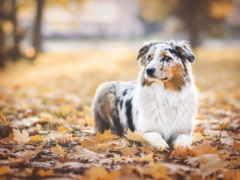 овчарка, австралийская, собака