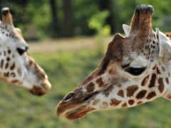 жирафы, objective, жираф