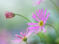 цветы, красивый, daisy