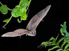 bat, извилины, плод