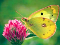 бабочка, цветке, бабочки