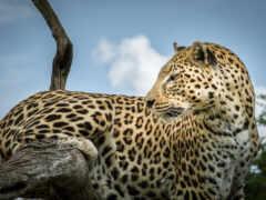 леопард, кот, глаза