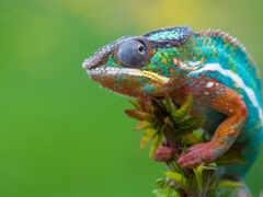 chameleon, animal, ящер