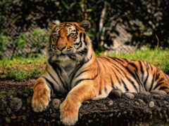 тигр, news, тег