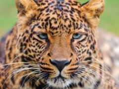 леопард, notebook, circle