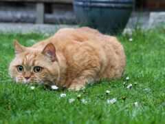 кот, british, песок