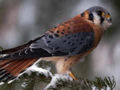 falcon, животные, kestrel