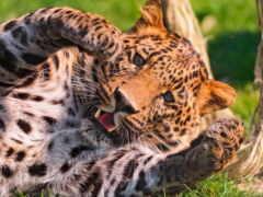 animal, леопард, jaguar