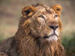 lion, desktop, зверь