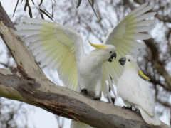 какаду, попугаи, желтохохлый