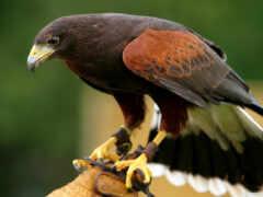 перепелятник, руке, птицы