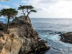 cypress, lone, дерево