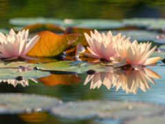 отражение, цветы, water