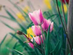 тюльпан, цветы, gullar