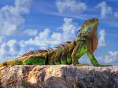 iguana, funart