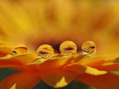 роса, оранжевый цветок