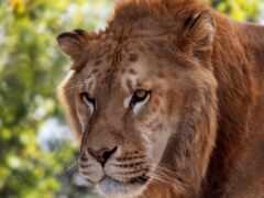 кот, тигр, лев