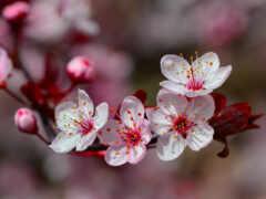 oir, весна, сакур