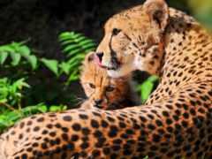 гепард, детенышем, лежат