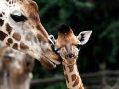 жирафы, жираф, жирафёнок