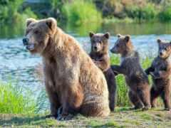 медведь, puzzle, семья