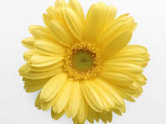 цветы, daisy, yellow