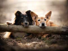 psy, собака, угол