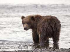 медведь, браун, animal