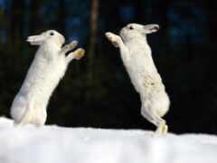 заяц, кролик, два