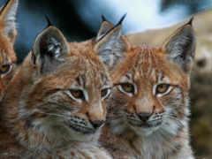 кошки, большие, рысь