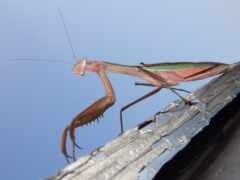 насекомое, dir, mantis