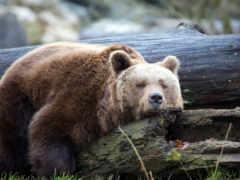 медведь, сеанс, спать