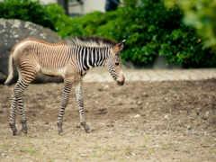 zebra, rare, pictures