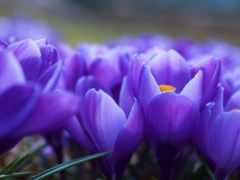 cvety, фиолетовые, flowers